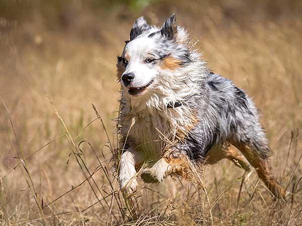 Blue merle Australian Shepherd running.