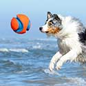 Australian Shepherd at beach jumping for Chuckit Kick Fetch Toy Ball.