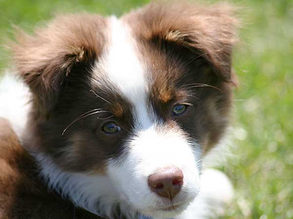 Red tri Australian Shepherd puppy laying on grass.