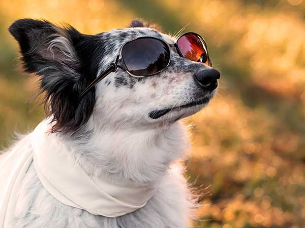 Australian Shepherd/Border Collie cross wear sunglasses and scarf.