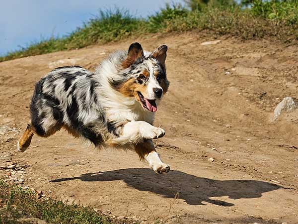 Blue merle Australian Shepherd running on dirt trail.