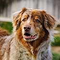 Red merle Australian Shepherd in yard with wood fence.