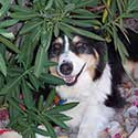 Black tri Australian Shepherd laying under Oleander bush.