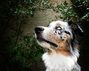 Australian Shepherd - William McEwen - Aiden - Breed Standard