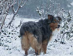 Australian Shepherd - Winter Dog Safety Tips