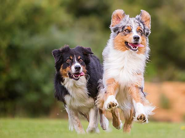 Two Australian Shepherds running at a park.