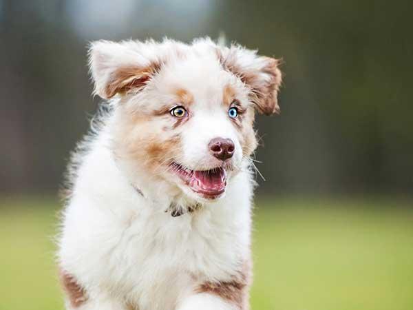 Favorite Puppy Names | Australian Shepherd Names