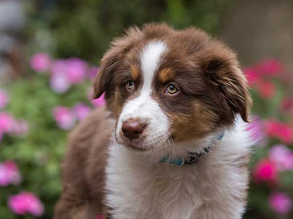 An adorable Australian Shepherd puppy with pink and red flowers in the background.