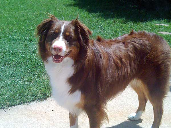 Red tri Australian Shepherd Abby.