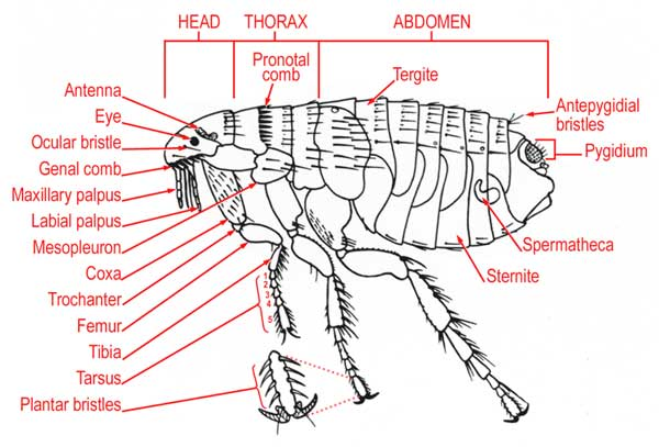 Flea Anatomy
