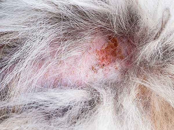 Close-up of flea allergy dermatitis on dog's skin.
