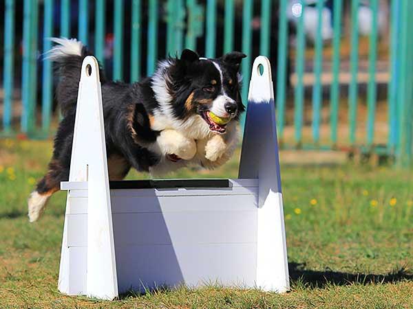 Australian Shepherd running flyball relay.