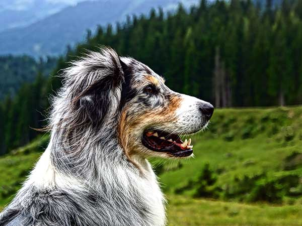 Australian Shepherd with hills and forest in background.