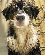 Australian Shepherd Photo Gallery