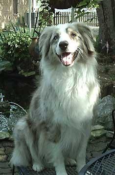 Australian Shepherd Picture