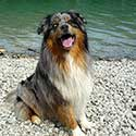 Blue merle Australian Shepherd, Jackson, at Walchensee Lake.