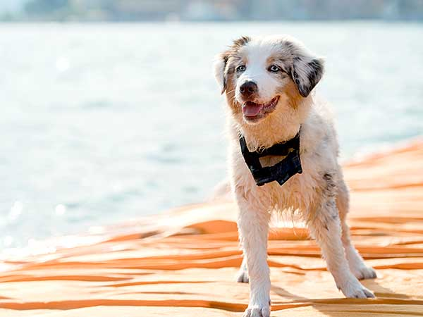 Australian Shepherd puppy standing on beach.