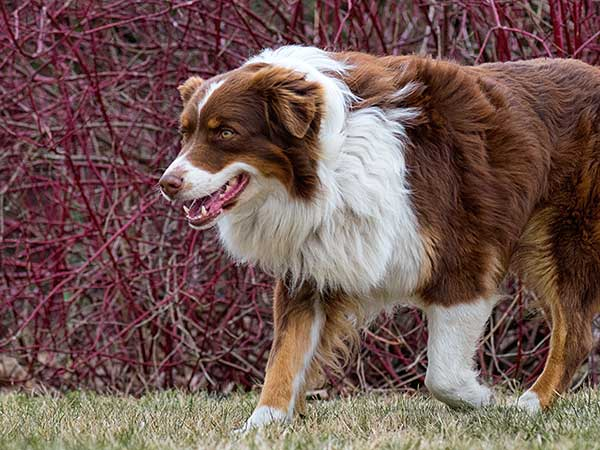 How Does Hemangiosarcoma In Dogs Affect Your Australian Shepherd - Photo: Adult red tri Australian Shepherd dog outdoors in the countryside.