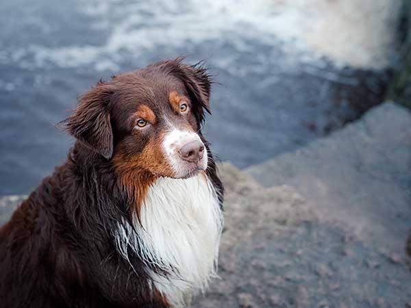 Australian Shepherd with river in background.