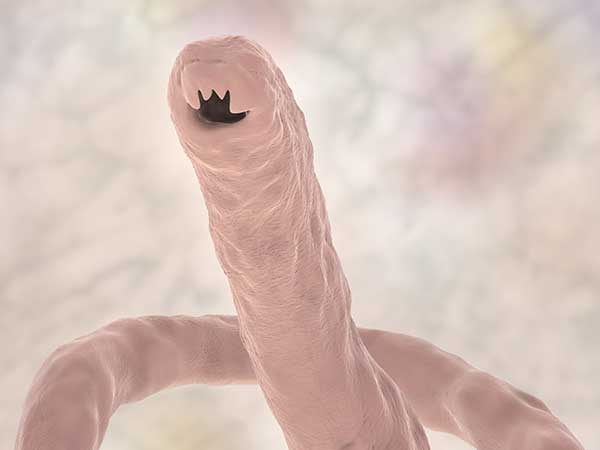 Hookworms Can Pose A Serious Threat To Your Australian Shepherd - Photo: 3D illustration showing the head of a parasitic hookworm.