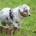 Blue merle Australian Shepherd puppy walking on grass by tree stump.