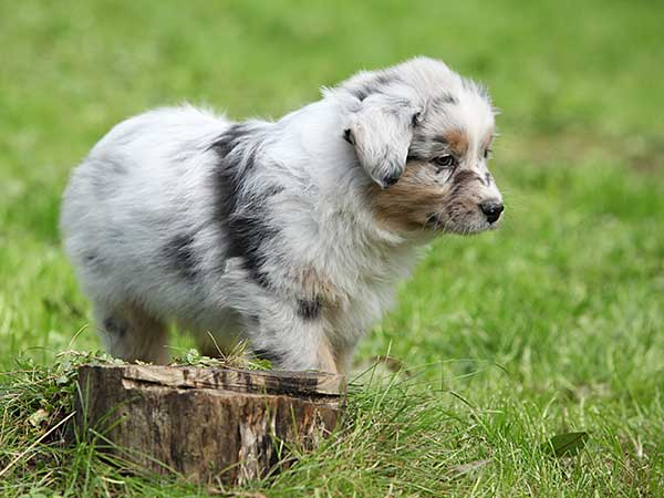Housebreaking Your Puppy With These House Training Tips - Photo: Blue merle Australian Shepherd puppy walking on grass by tree stump.