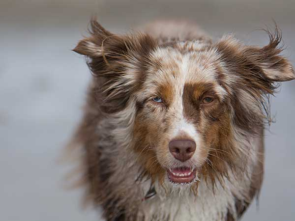 Australian Shepherd at beach in San Diego, California.