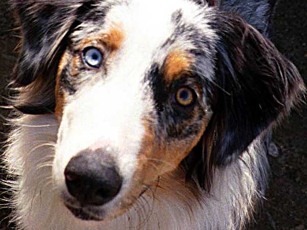 Immune Mediated Hemolytic Anemia In Australian Shepherds - Photo: Weasel is a blue merle Aussie with different colored eyes.