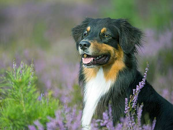 Australian Shepherd in the heathland.