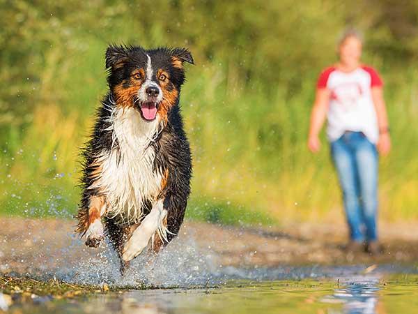 Ketona Dog Food By KetoNatural Among Best-Reviewed Dog Foods - Photo: Black-tri Australian Shepherd running along shore of lake.