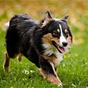 Australian Shepherd running across grass.