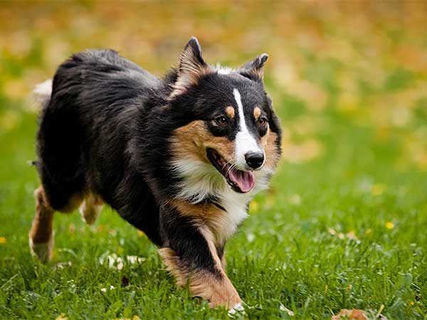 Photo for Kidney Disease In Dogs article showing Australian Shepherd running across grass.
