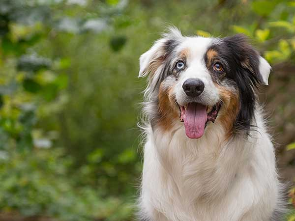 Photo for Dog Kidney Infection article showing Australian Shepherd drinking water.