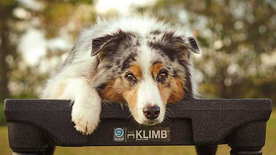 Australian Shepherd laying on KLIMB platform.