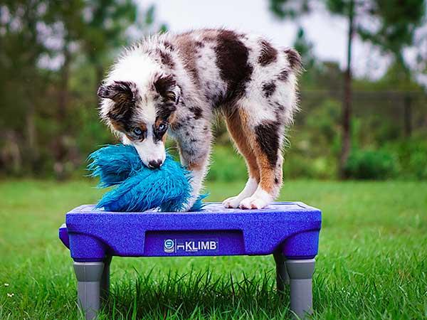 Australian Shepherd puppy standing on a KLIMB platform.