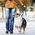 Woman walking her Australian Shepherd on leash.
