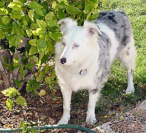 Lethal White Homozygous Or Double Merle Australian Shepherds