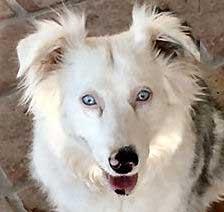 Lethal White Homozygous Double Merle Australian Shepherd - Angel