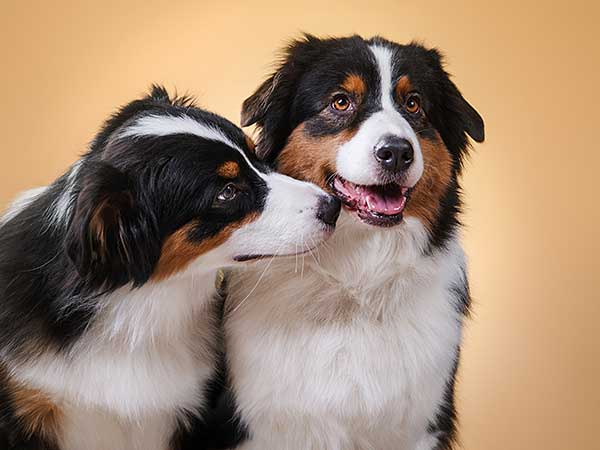 Two black tri Australian Shepherds.