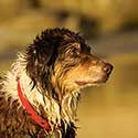 Wet Australian Shepherd with red collar outside.