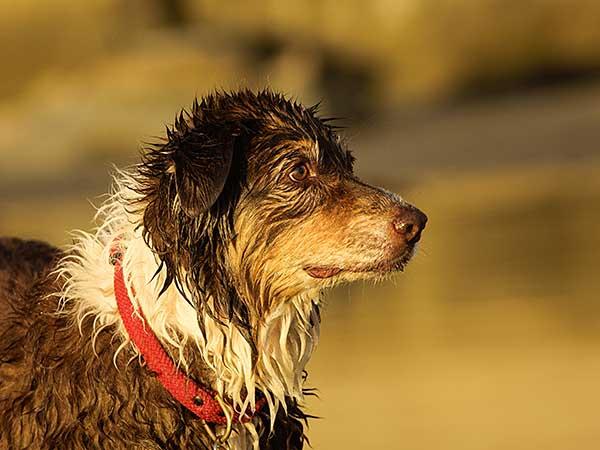Lost Australian Shepherd