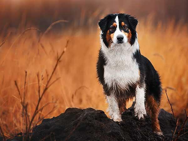 Black tri Australian Shepherd in field.