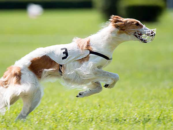 Dog running in lure coursing competition.