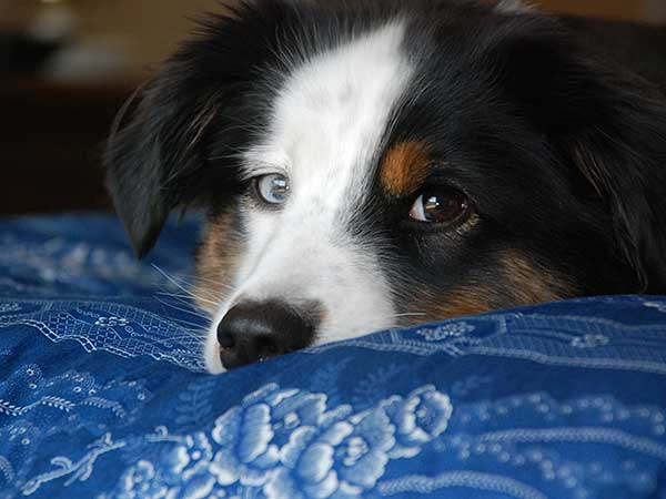 Memory Foam Dog Bed Pros and Conse - Photo: Australian Shepherd puppy laying on bed with blue cover.