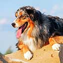 Australian Shepherd leaning over a rock.