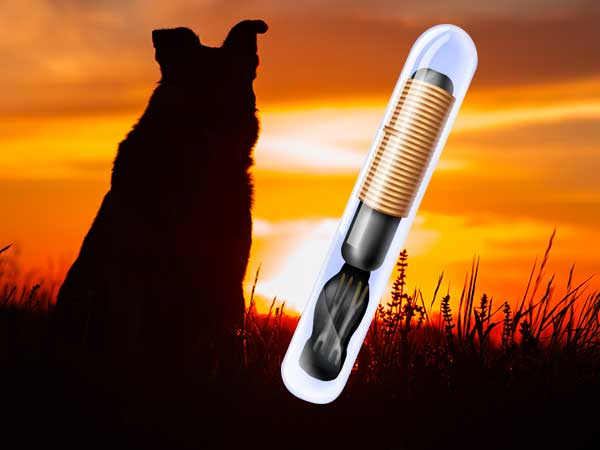 Silhouetted Australian Shepherd in field at sunset with illustration of microchip.