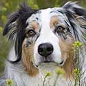 Blue merle Australian Shepherd in field of yellow flowers.