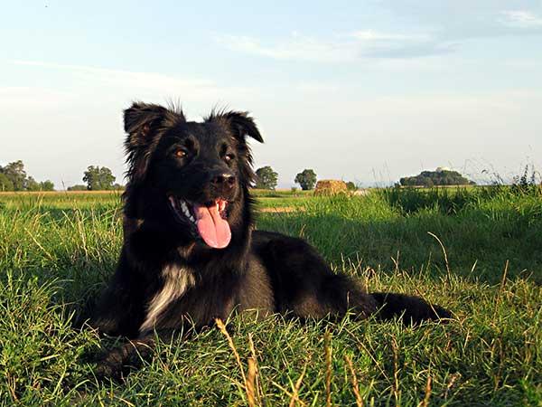 The Advantages Of Natural Dogfood For Your Australian Shepherd - Photo: Black Australian Shepherd, Loki, enjoying the evening sun.