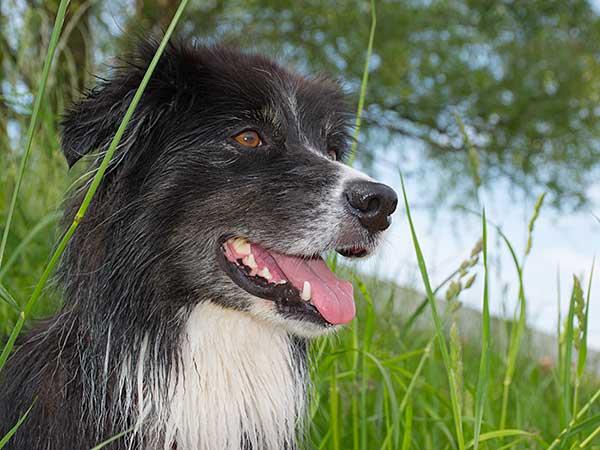 Australian Shepherd in high grass on side of hill.