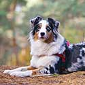Blue merle Australian Shepherd with a red no pull dog harness lying down in the forest.